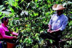 Relancer la culture du café pour développer l'économie rurale
